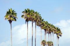Palmträd i rad Fotografering för Bildbyråer