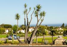 Palmträd i Santa Barbara Fotografering för Bildbyråer