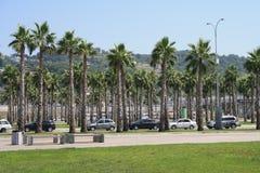 Palmträd i Sochi Arkivfoton
