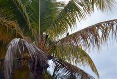 Palmträd med att sätta sig fåglar Varadero, Kuba Royaltyfri Bild