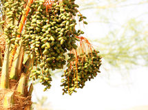 Palmträd med datumfrukter Royaltyfri Fotografi