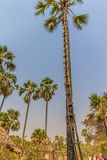 Palmträd med en stege Fotografering för Bildbyråer