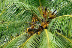 Palmträd med frukten av kokosnöten Royaltyfria Foton
