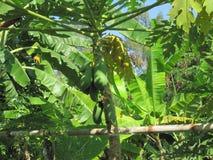 Palmträd med frukter i Thailand/Chai Nat arkivbild