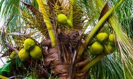 Palmträd med gröna kokosnötter royaltyfri bild