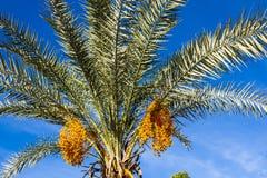 Palmträd med gula frukter fotografering för bildbyråer
