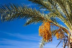 Palmträd med gula frukter royaltyfri fotografi