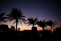 Palmträd med kokosnötter Arkivfoto