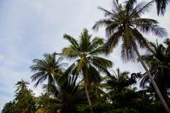 Palmträd med kokosnötter Arkivfoton
