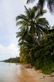 Palmträd med kokosnötter Arkivbild