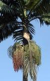 Palmträd med mogna röda frukter Royaltyfria Foton