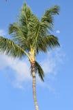 Palmträd med morgonmånen på en klar himmel Arkivbild