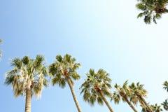 Palmträd med stora sidor på en klar solig sommardag Royaltyfri Fotografi