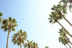 Palmträd med stora sidor på en klar solig sommardag Fotografering för Bildbyråer