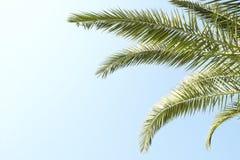 Palmträd med stora sidor på en klar solig sommardag Royaltyfria Bilder