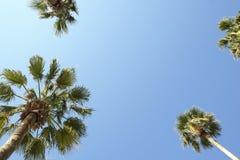 Palmträd med stora sidor på en klar solig sommardag Arkivfoton