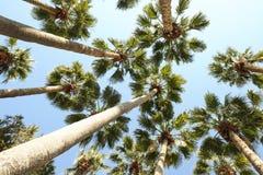 Palmträd med stora sidor på en klar solig sommardag Royaltyfri Foto