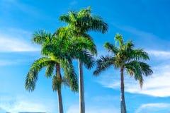 3 palmträd mot blå himmel med vita moln arkivfoton