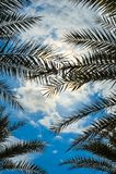 Palmträd mot himlen och molnen fotografering för bildbyråer