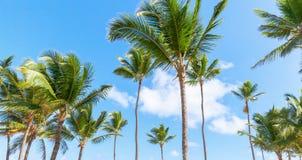 Palmträd natur av Dominikanska republiken royaltyfri foto