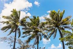 Palmträd Noumea, Nya Kaledonien Arkivbild