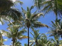 Palmträd och blåttsky Arkivbilder