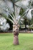 Palmträd och gräsgräsplanen i Thailand Fotografering för Bildbyråer