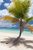 Palmträd och kokosnöt arkivfoton