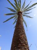 Palmträd Ovalle, Chile Royaltyfria Foton