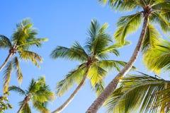 Palmträd på bakgrund för blå himmel, gömma i handflatan filialer på himmelbakgrund, konturer av palmträd, kronor gömma i handflat royaltyfri bild