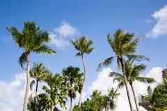 Palmträd på bakgrunden av blå himmel Arkivfoton