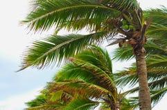 Palmträd på den blåsiga orkan-, suddighetsbladorsaken och hällregn Arkivbilder
