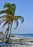 Palmträd på den steniga kusten Arkivbild