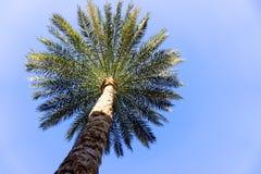 Palmträd på en bakgrund av klar himmel Arkivbilder
