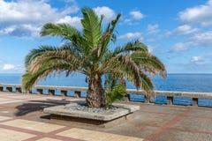 Palmträd på en fot- promenadel längs kusten av madeiraön Arkivfoto