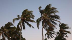 Palmträd på en stormig dag