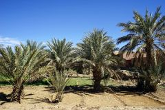 Palmträd på fältet Fotografering för Bildbyråer