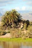 Palmträd på flodbanken med berg på bakgrunden Royaltyfri Bild