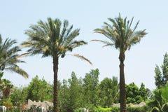 Palmträd på gatorna av semesterorten av Egypten Royaltyfri Foto