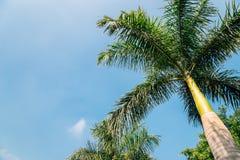 Palmträd på Rajiv Gandhi Park i Udaipur, Indien Fotografering för Bildbyråer