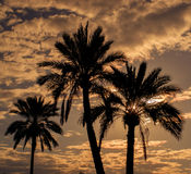 palmträd som badas i varmt guld- solljus arkivbild