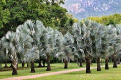 Palmträd som bildar en gränd arkivfoto