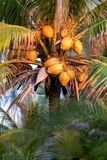 Palmträd som fylls med kokosnötter på solnedgången royaltyfria bilder