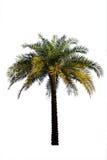 Palmträd som isoleras på den vita backgrouen Royaltyfria Bilder