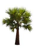 palmträd som isoleras på vit bakgrund Arkivbild