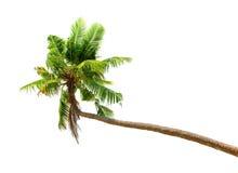 Palmträd som isoleras på vit bakgrund Royaltyfri Bild