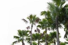 Palmträd som isoleras på vit bakgrund Arkivfoto