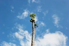 Palmträd som sträcker in i himlen med frukter fotografering för bildbyråer