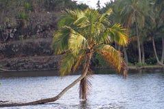Palmträd som växer över vatten, Kauai, Hawaii Royaltyfri Foto