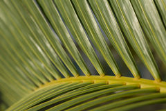 Palmträdblad Royaltyfri Fotografi